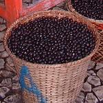 Acai berry - plody palmy acai